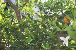 Orangenöl, süß, Brasilien, ab 10 ml
